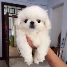 佛山高明去哪里買京巴犬佛山京巴犬價格純種京巴犬多少錢京巴幼犬多少錢一只圖片
