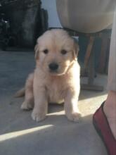 佛山金毛幼犬价格金毛犬佛山哪里有卖纯种金毛犬多少钱一只佛山金毛犬价格多少钱图片