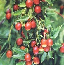 红枣基地大量批发鲜小枣图片