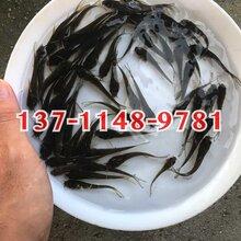 三角鲂鱼苗批发,优质三角鲂鱼苗供应大量三角鲂鱼苗出售图片