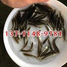 鳊鱼苗批发,沙鳊鱼苗供应大量鳊鱼苗出售图片
