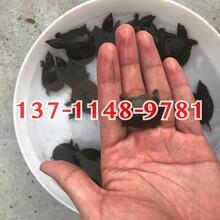 鴨嘴鱘魚苗批發,鱘魚苗供應大量鴨嘴鱘魚苗出售圖片