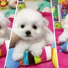 出售纯种玩具泰迪,聪明不掉毛没有体味的玩具泰迪宝宝