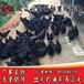 桂林五黑绿壳蛋鸡苗出售-麻羽高产绿壳蛋鸡苗