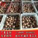 盐城蛋鸡苗出售-海兰灰蛋鸡苗-海兰褐蛋鸡苗多少钱一只