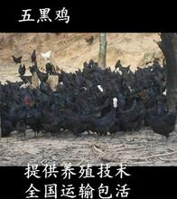广宁五黑绿壳蛋鸡苗-广宁麻羽高产绿壳蛋鸡苗出售图片
