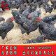 黑芦花鸡种鸡