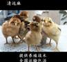 揭阳土鸡苗揭阳黑土鸡苗揭阳三黄鸡苗全年有售图片