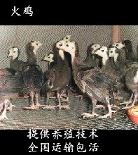 廣東火雞苗出售-廣州火雞苗批發-貝蒂娜火雞苗圖片圖片