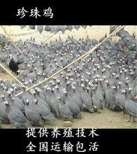 福清珍珠雞苗-福清市貴妃雞苗出售圖片