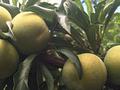 攀枝花蜂糖李村民的致富经历/攀枝花蜂糖李品种介绍图片