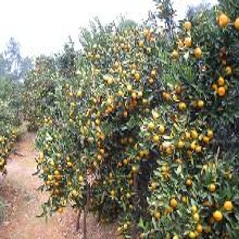 南丰蜜桔砂糖桔大量供应果皮好果品甜无渣