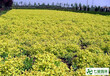 遼寧大花萱草、德國景天。鼠尾草,假龍頭