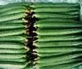 黄瓜河北特产农场种植青县农业种植园新鲜黄瓜无公害直销产品