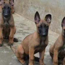 西安犬舍出售纯种马犬,杜高,大骨架,看家护院。