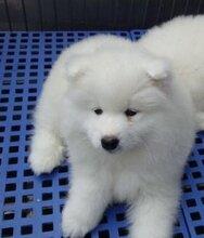 上海精品犬舍出售纯种微笑天使萨摩耶幼犬+证书齐全+纯血统