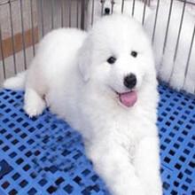 纯种大白熊犬常年出售—保健康—保纯种—保障质量