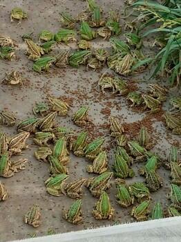 四川青蛙养殖基地南充黑斑蛙养殖价格大量批发
