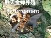 養殖金蟬,種植金蟬,河北養殖金蟬基地