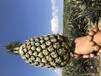 海南金菠蘿手撕菠蘿17號鳳梨