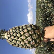 海南金菠蘿手撕菠蘿17號鳳梨圖片