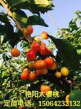 大樱桃树苗哪个品种好