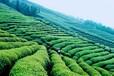 西安立肯茶文求购黑茶基地合作