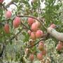 基地供应红肉苹果苗柱状苹果烟富苹果苗图片