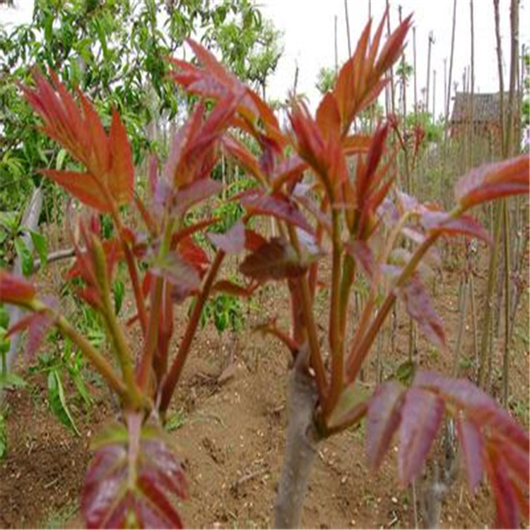 红油香椿种植红油香椿价格泰山红油香椿树价格