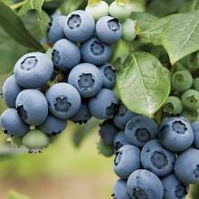 蓝莓种苗批发蓝莓基地蓝莓苗安徽蓝莓种植基地图片