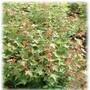 山西五角枫苗图片秋天绿叶变红叶图片