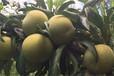 蜂糖李,嫁接蜂糖李苗,大果李子品种,新品种李子苗