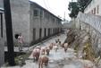 杂交构树:没了土猪肉,构香猪或许能救你