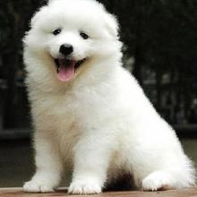 澳版萨摩幼犬纯种公母齐全可以做健康体检