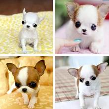 哪里卖高品质纯种赛级犬吉娃娃疫苗驱虫已做可签协议