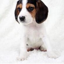 诚信为本、纯种比格犬、包养活签协议送售后保障