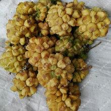 黄金果苗图片