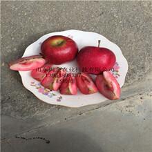 基地供应红肉苹果苗丨红色之爱苹果苗哪里能买到