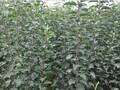 焗金农业红富士苹果苗,红富士苹果特性。焗金农业图片