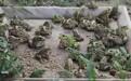 安徽特种养殖,黑斑蛙虎纹蛙青蛙养殖条件及技术。