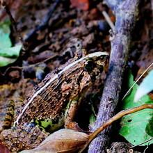 阜阳虎纹蛙特种养殖阜阳虎纹蛙蝌蚪技术图片