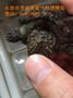 原种佛鳄龟爆刺纯佛乌龟活体图片
