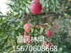 专业大量供应石榴树苗保证品质价格合理