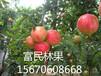 大量供应石榴树苗品质优良欢迎选购