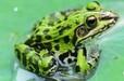 黑斑蛙养殖技术青蛙养殖技术安徽黑斑蛙养殖