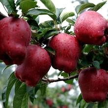 供应一刀二刀寒富苹果苗供应防寒一刀二刀寒富苹果苗供应寒富苹果树图片