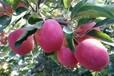供应一刀鸡心苹果苗供应二刀鸡心苹果苗供应一刀、二刀鸡心苹果苗