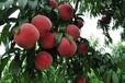 出售1年2年3年4年5年6年7年生桃树出售1-7公分桃树出售防冻毛桃树