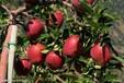 出售1年2年3年4年5年6年7年生苹果树出售1-7公分苹果树寒富苹果树