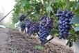 出售防冻葡萄苗、出售防冻葡萄树供应贝达葡萄苗供应酿酒葡萄苗
